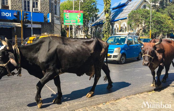 路上に牛 インド旅行 ムンバイ India Mumbai